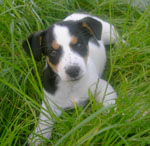Jack Russell puppy Boomer in de tuin