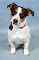 Jack Russel Boomer